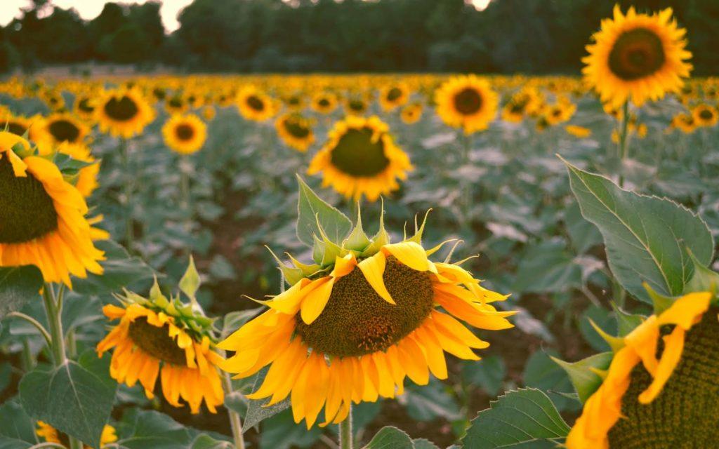 Sonnenblumen Feld - Platon Kiriazidis